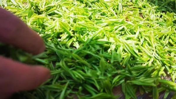 六万头采芽才制成一斤茶